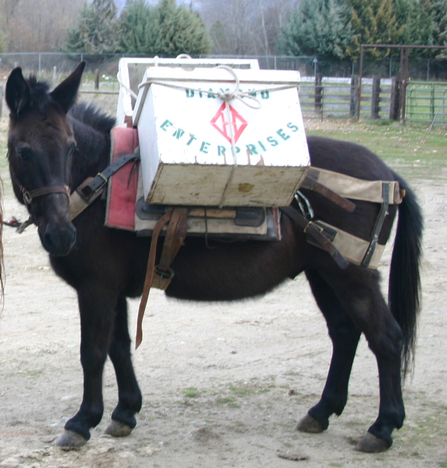(SOLD) Great Little Pack Mule $600.00 | RK Horses